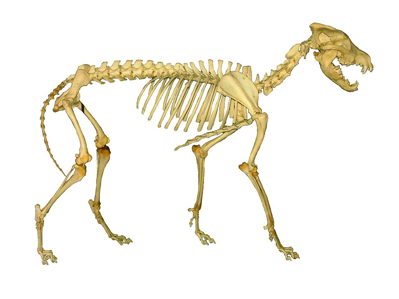 Pin by Elliot Rosenstein on Anatomy - animal - canidae | Pinterest ...