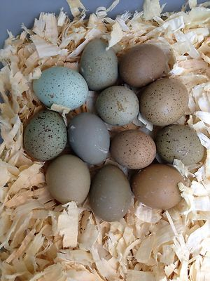 12 All Colors Button Quail Hatching Eggs Ebay With Images