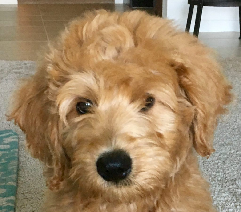 Labradoodle Puppies Are So Cute This Little Guy Has Such Curly