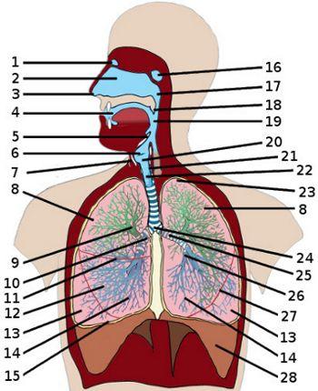 Free anatomy quiz the respiratory system ap4heartng the anatomy of the respiratory system quiz 1 ccuart Gallery