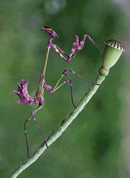 Purple Praying Mantis Beautiful Bugs Wild Animals Pictures Bugs And Insects