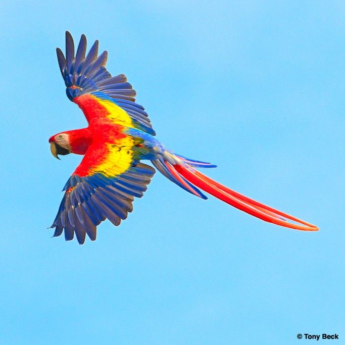 Red Macaw Parrot Flying Im an animal LOVER. Bu...