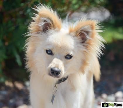 Petango Com Meet Fluffy A 1 Year Pomeranian Papillon Available For Adoption In Monticello Mn Small Dog Rescue Pets I Love Dogs