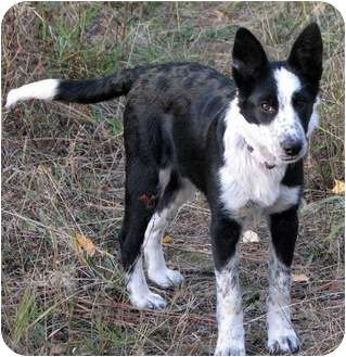 Found On Petfinder Bc Heeler Mix Puppy Cattle Dog Smartest Dogs Heeler Mix