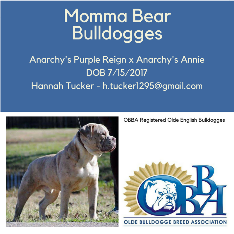 Obba Registered Olde English Bulldogges In Tulsa Ok