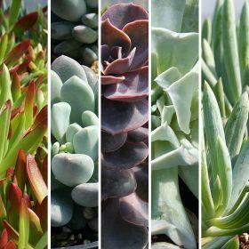 Echeveria U0026 Indoor Succulent Plants   Youngs Garden Center