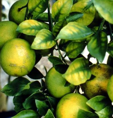 Diagnosing Citrus Tree Problems Hopefully My Nitrogen And Epsom Salts Will Rejuvenate My Baby Orange Tree Citrus Trees Growing Fruit Trees Orange Plant