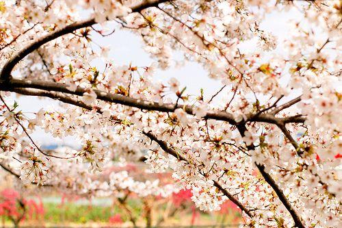 Nc Flowering Tree Spring Flowering Trees Pink Flowering Trees Flowering Trees