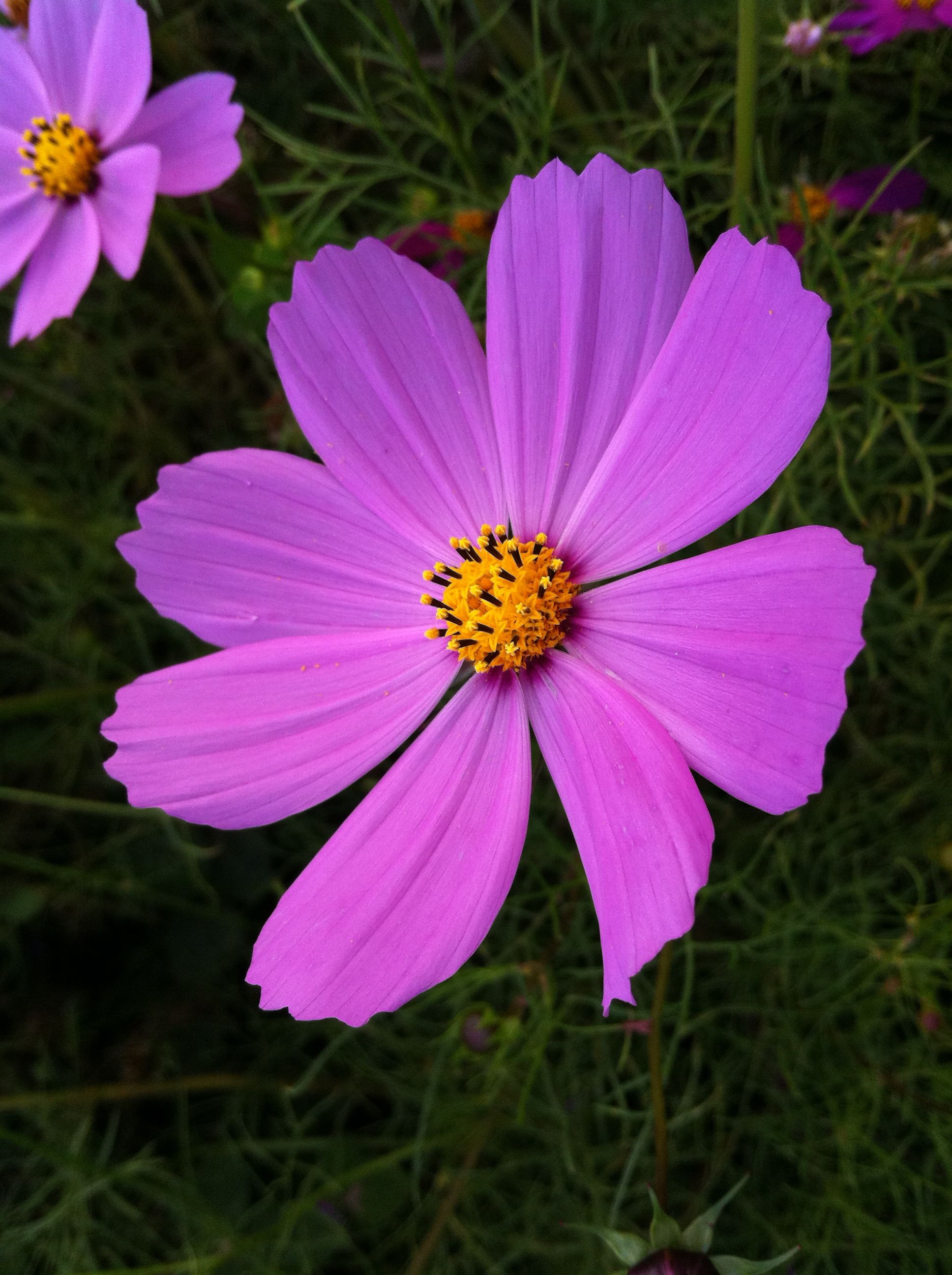 Violet Cosmos Flowers Color Collage Flower Identification