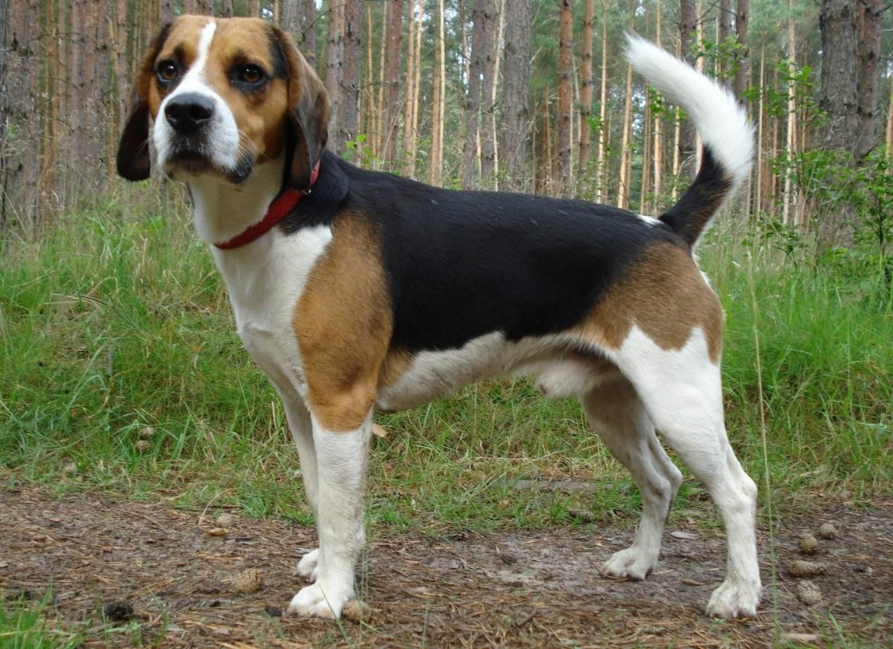 Beagle Dog Full Grown Harrier Dog Beagle Dog Dog Breeds