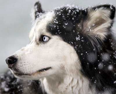 Beloved Niu Huskies Mascot Diesel To Retire Husky Northern