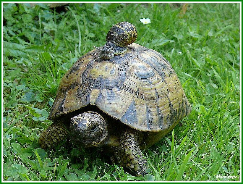 """Résultat de recherche d'images pour """"photo d'une tortue et d'un ESCARGOT"""""""