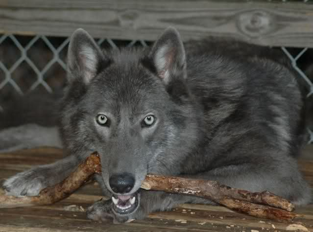 How To Clean Your Laptops Wolf Dog Beautiful Dogs Wild Dogs