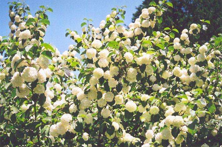 Japanese Garden Plant List