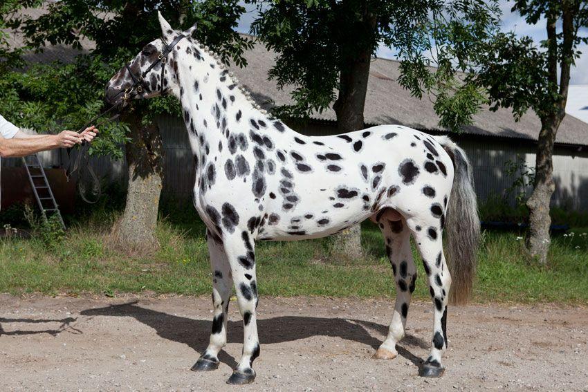 Knabstrupper (Sport type) stallion Hannibal Middelsom