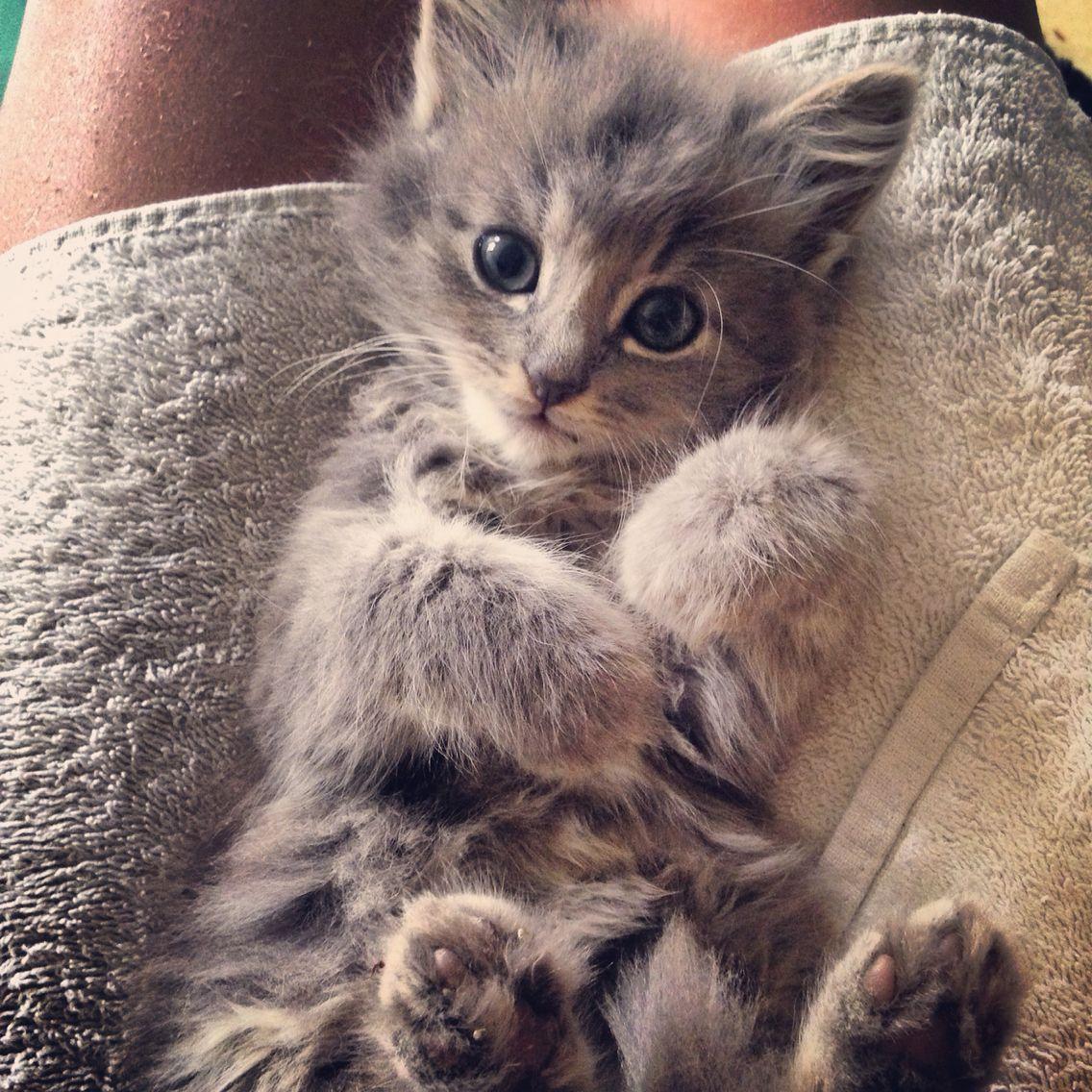 Bali mon chaton chat gris a poil angora pets pinterest - Chat qui perd pas ses poils ...