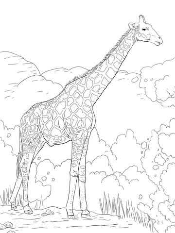 The Angolan Giraffe Or The Namibian Giraffe Coloring Page From