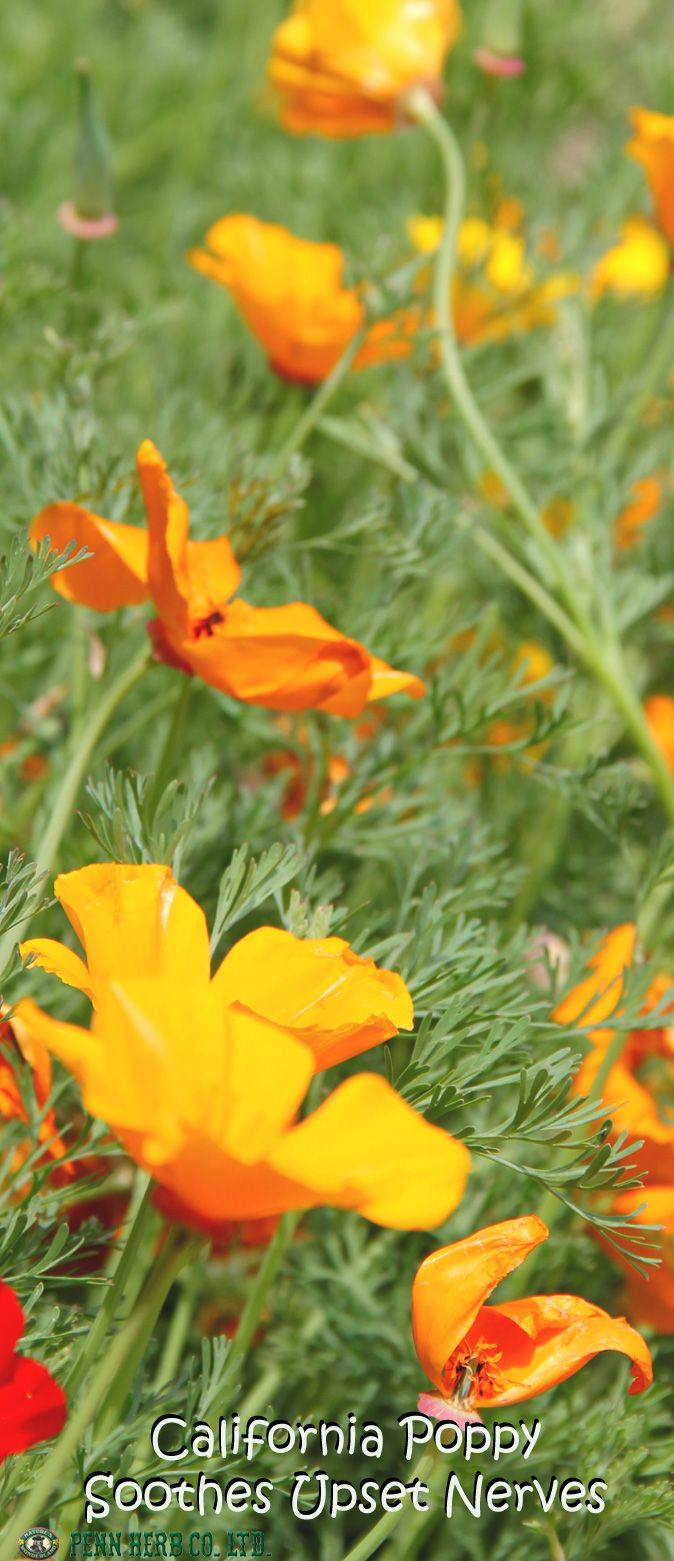 CALIFORNIA POPPY…Gently relaxes little nerves, encourages restful #sleep, and is a traditional home-remedy for bed wetting.