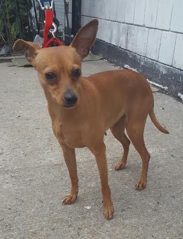 Adopt Missy On Chihuahua Mix Chihuahua Pets