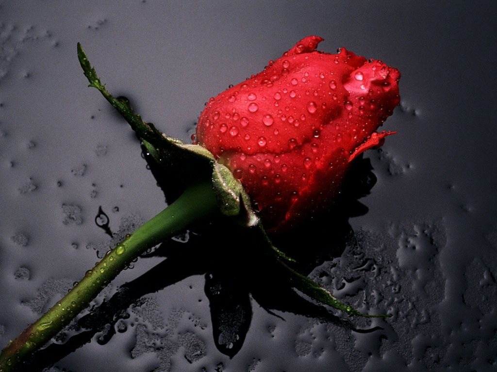Free Pictures of Red Roses | Free Flowers Photo And Wallpapers ...