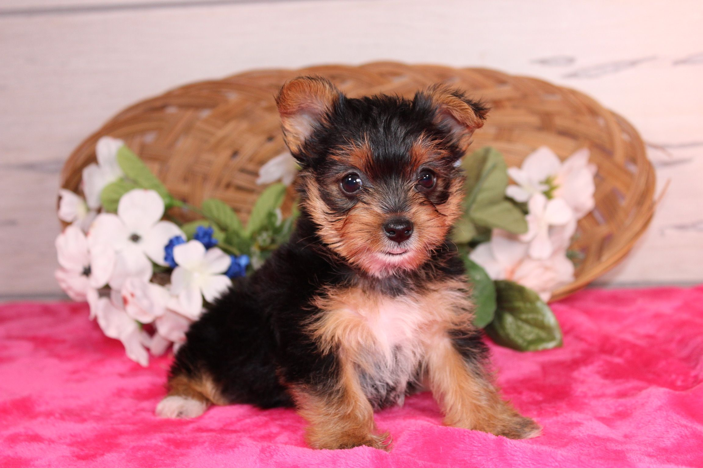 New born puppies yorkshire terrier for sale near nappanee
