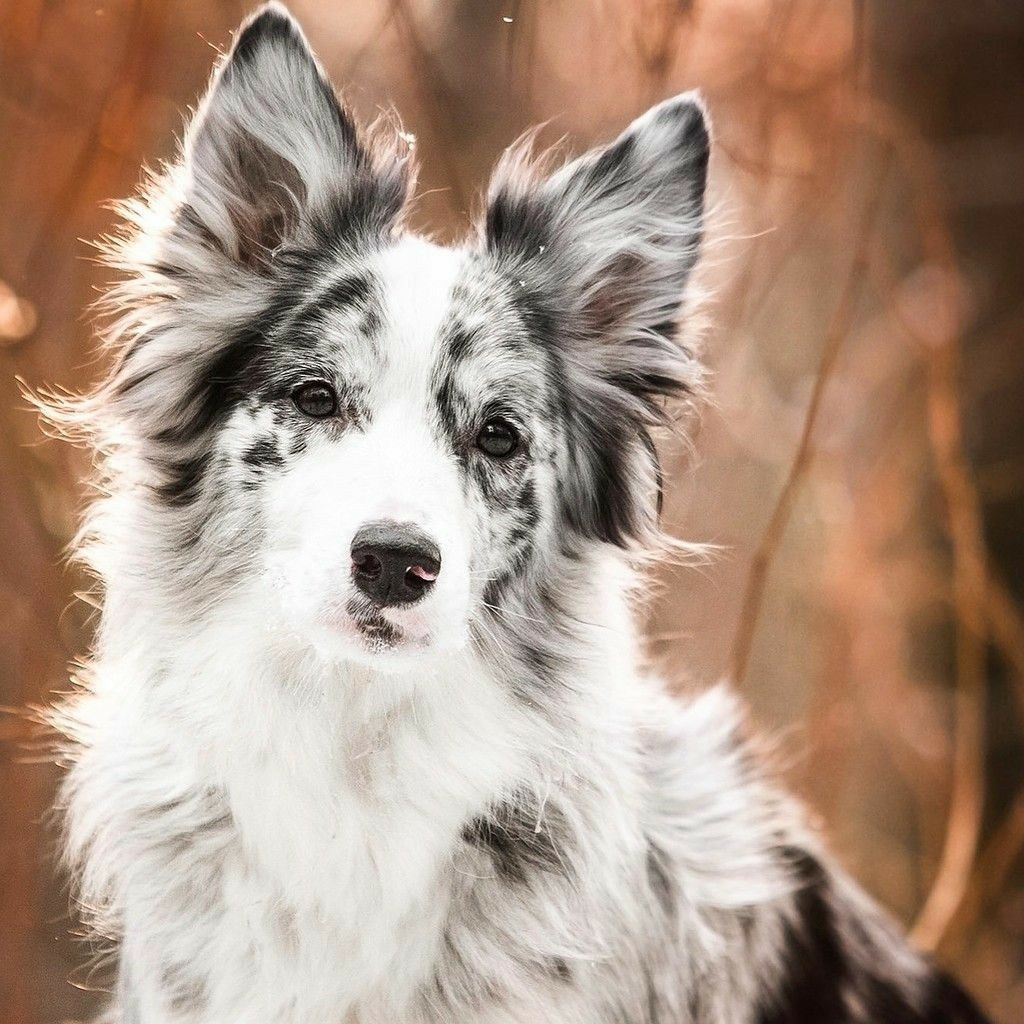 Border Collie Such A Stunning Blue Merle Merle Bluemerle
