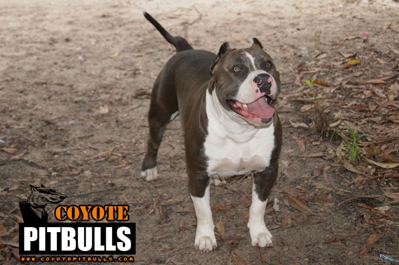 Wiley S Big Brother Cain A Real American Bully American Bully