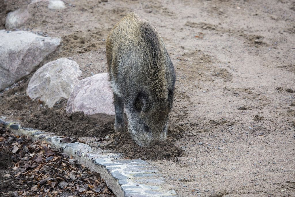 Wild sow searching for food