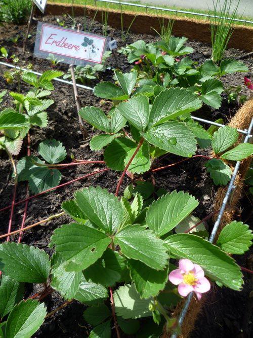 Erdbeeren Erobern Das Hochbeet Freundeskreis Suttnerpark