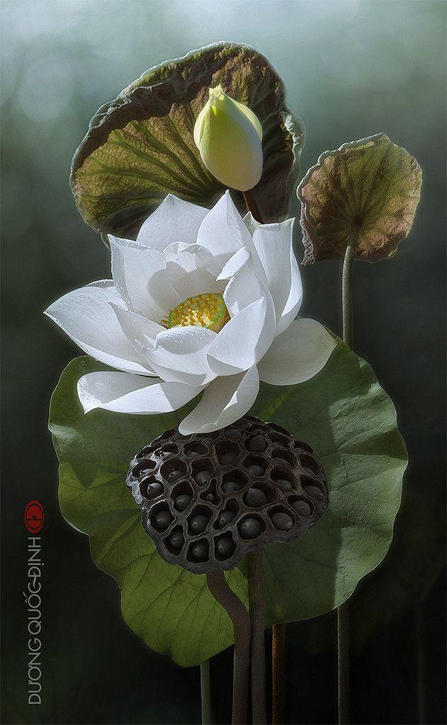 Beautiful White Lotus Flower! Цветы, Цветочные картины