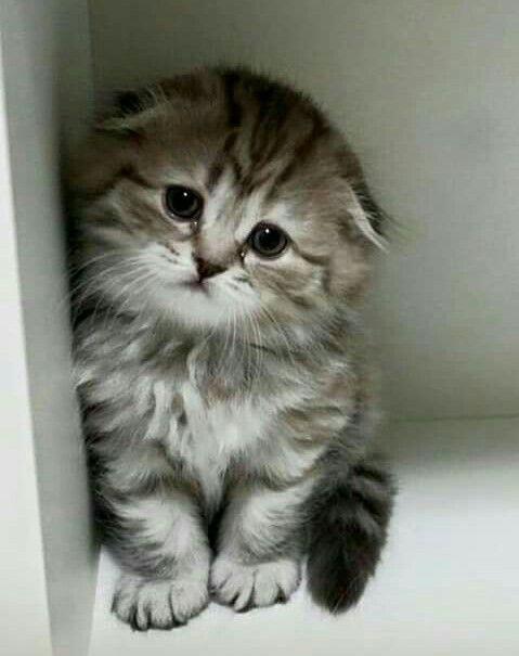 Fold Kitten Cute Baby Cats Kittens Cutest Cute Cats