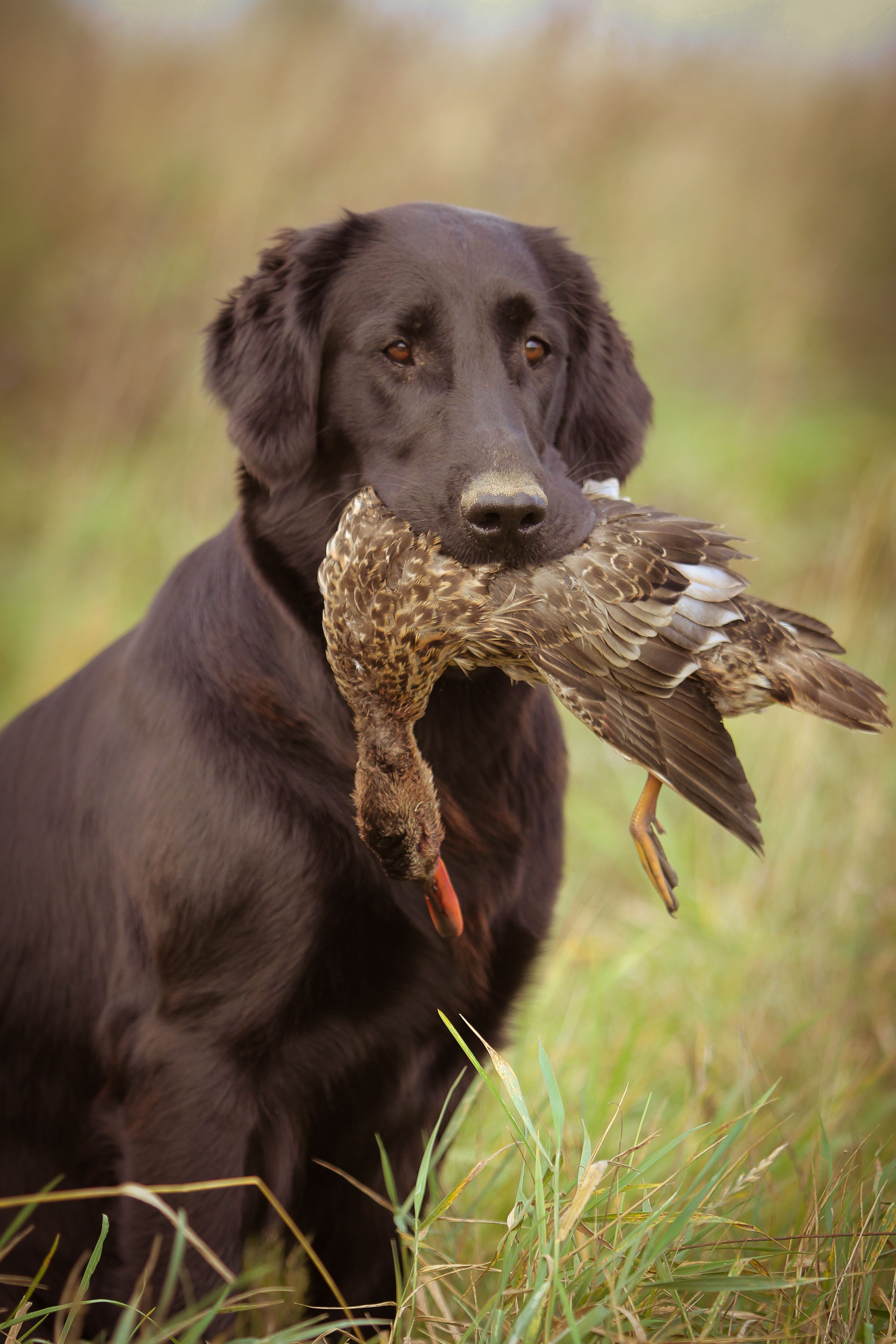 Flat Coated Retriever bred to work with bird hunters, he
