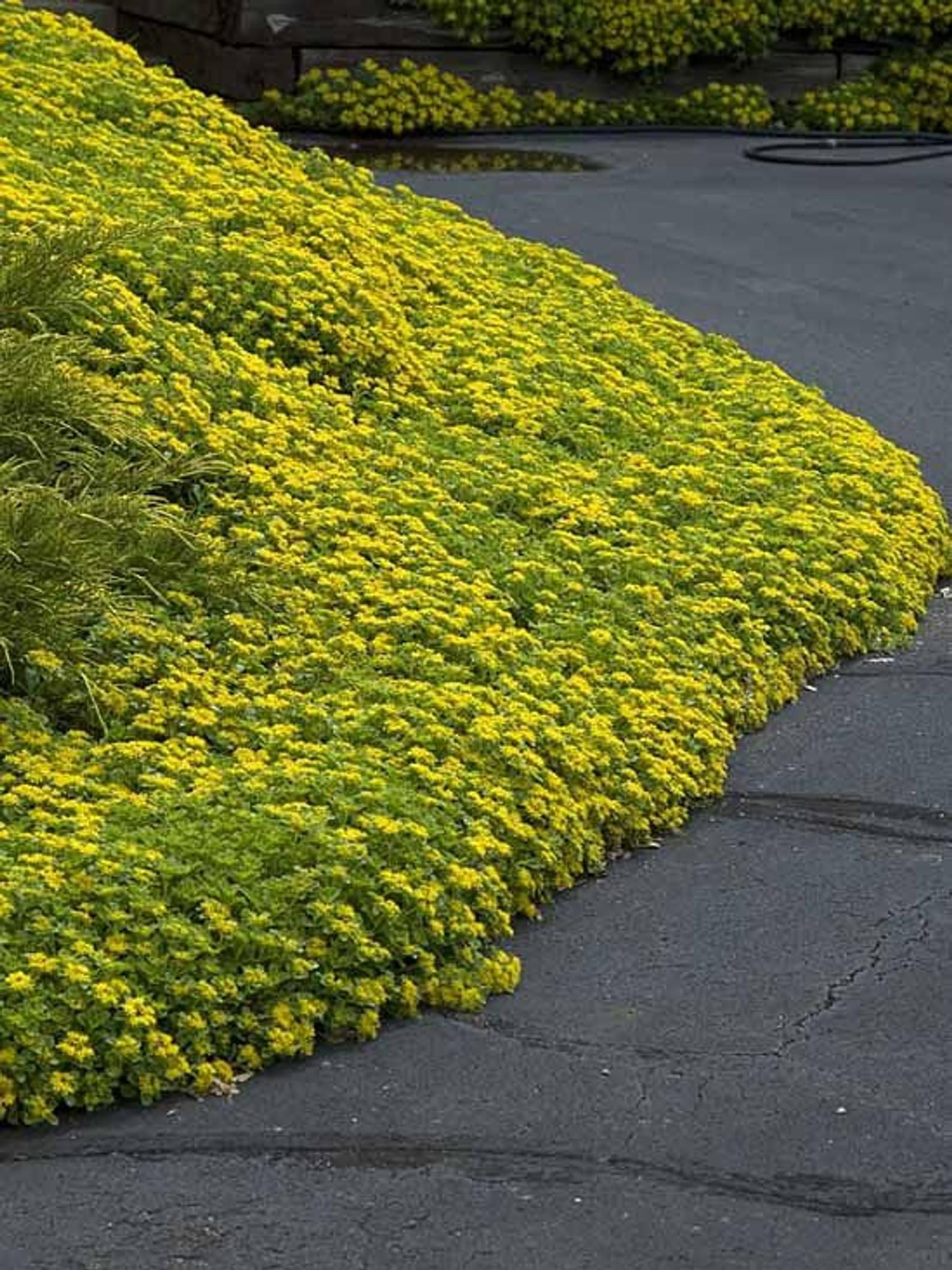 30 Sedum Yellow Ground Cover Aka Stonecrop Succulent Perennial Rosettes Flower Seeds Ground Cover Plants Ground Cover Hillside Landscaping