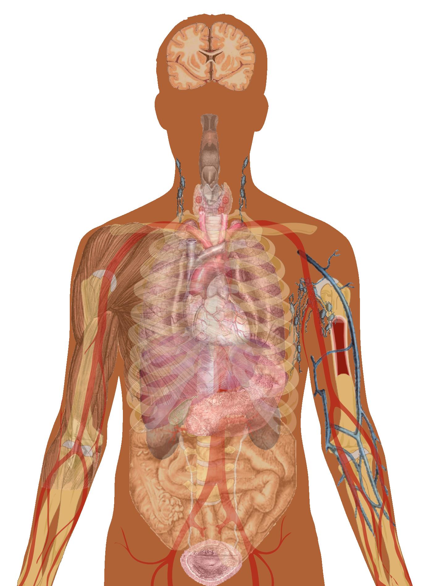 Man shadow with organs | BI ~ Human Anatomy | Pinterest | Human anatomy