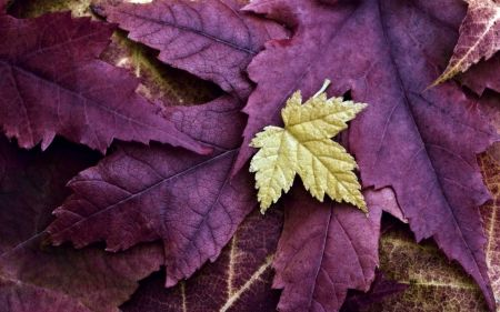 Autumn In Purple Leaves Purple Pink Autumn Yellow Leaf Images Autumn Nature Leaves