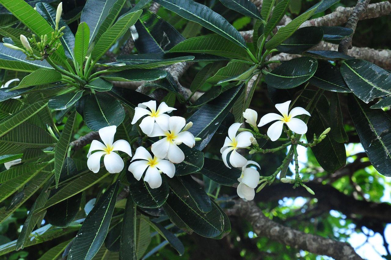 Khasiat dan Manfaat Bunga Kamboja | Bunga, Kamboja, Pohon