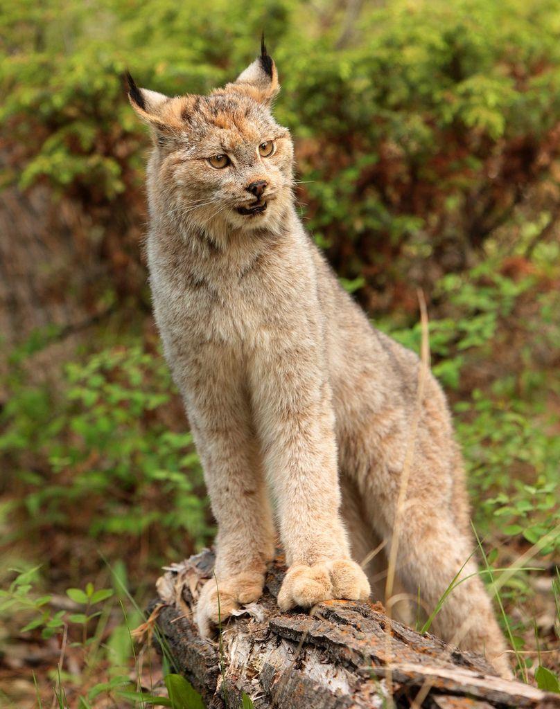 Canada lynx (Lynx canadensis) or Canadian lynx is a North