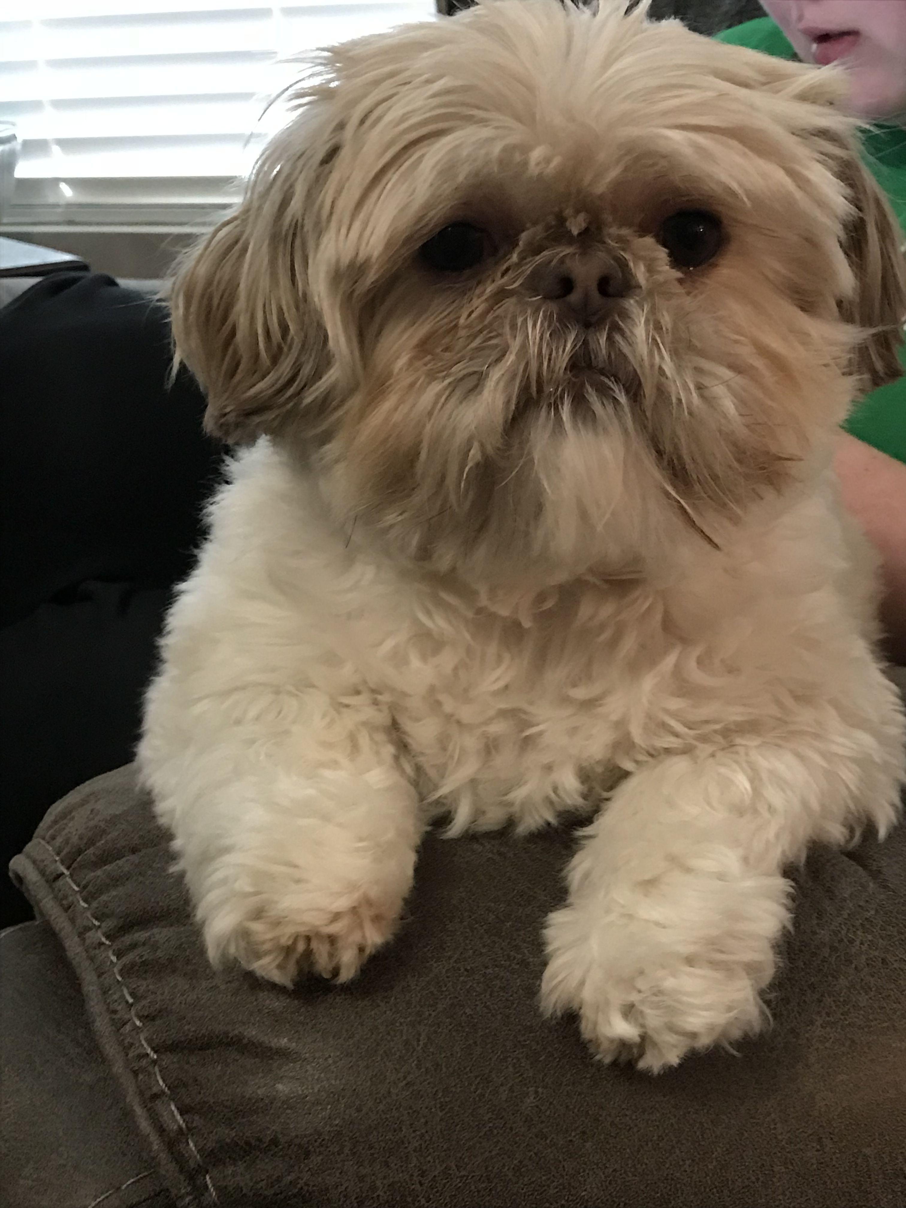 Looks Like Magoo R I P Shih Tzu Shih Tzu Dog Shih Tzu Puppy