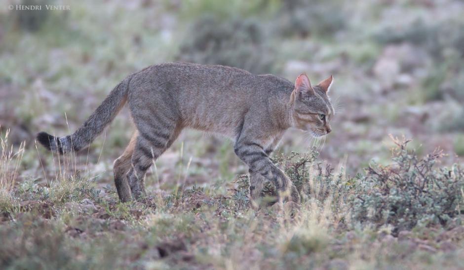 African Wild Cat, Kgalagadi Transfrontier Park, Kalahari Desert, South Africa