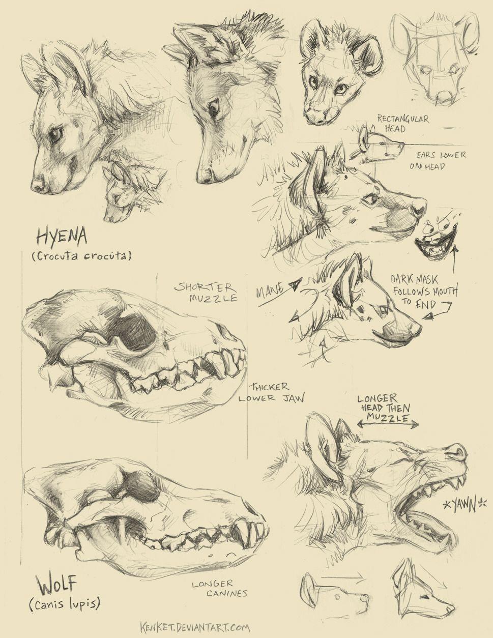 Anatoref Spotten Hyena Vs Wolf Anatomy By Tess Garman Draw