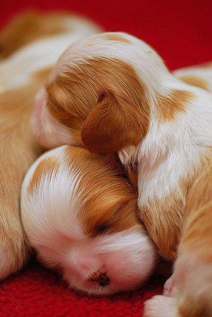 Cavalier Puppies Cuddling Cute Animals Baby Animals Pictures Cute Baby Animals