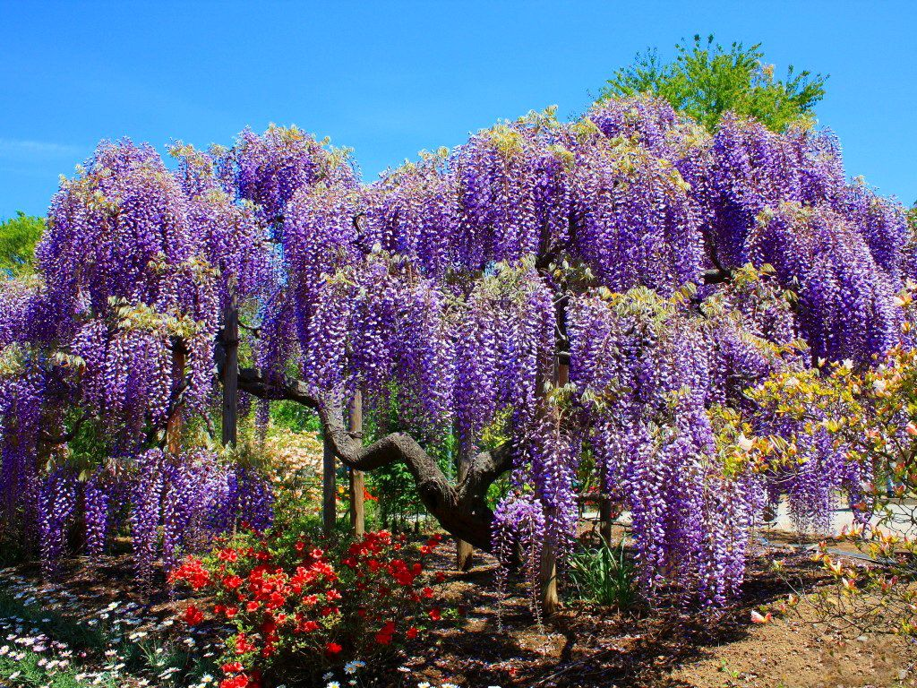 Wisteria Tree Related Keywords Suggestions Wisteria Tree Long - Beautiful wisteria plant japan 144 years old