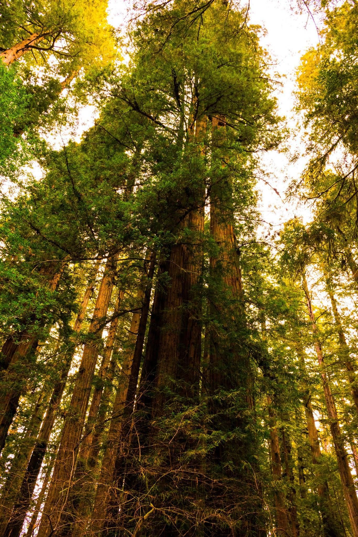 Some Giant Trees In Oregon Oc1365x2048 Wallpaper