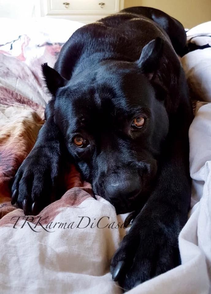 Karma Di Casa Pretorian Black Cane Corso 3 Cane Corso Dog