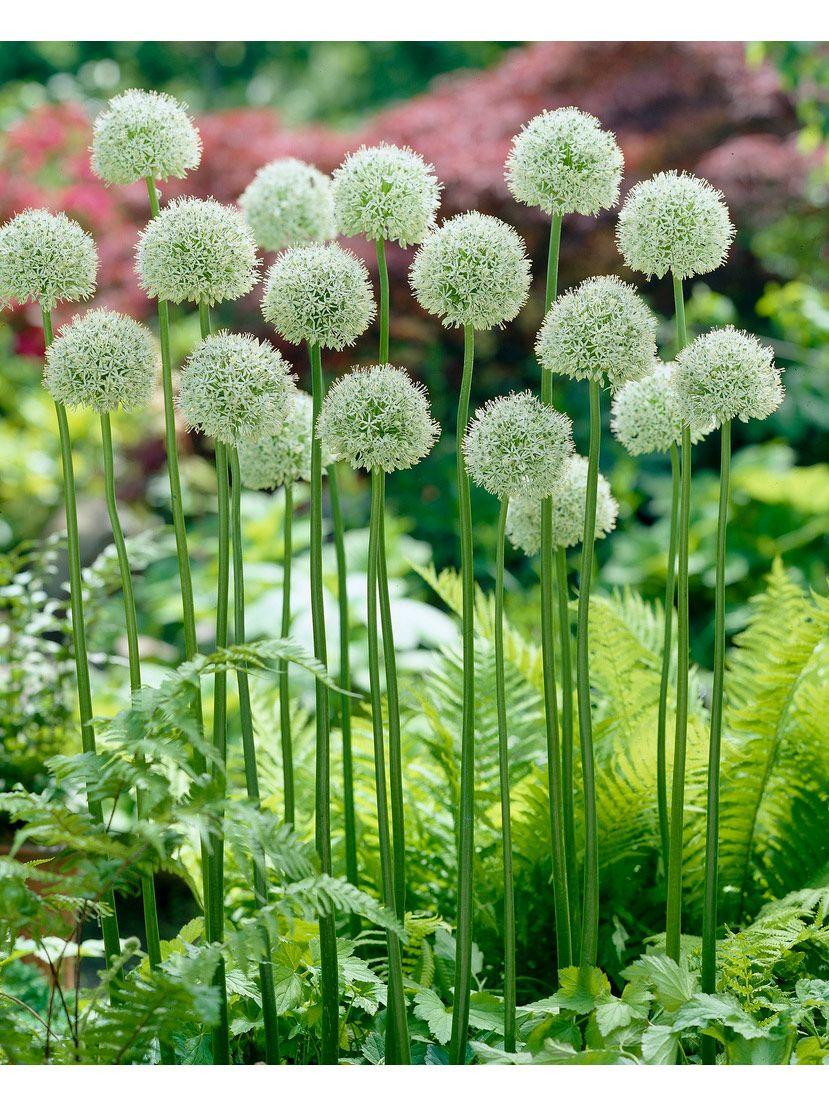 Mount Everest Allium Bulbs Set Of 2 Gardener S Supply In 2020 Garden Bulbs Flower Landscape Shade Garden