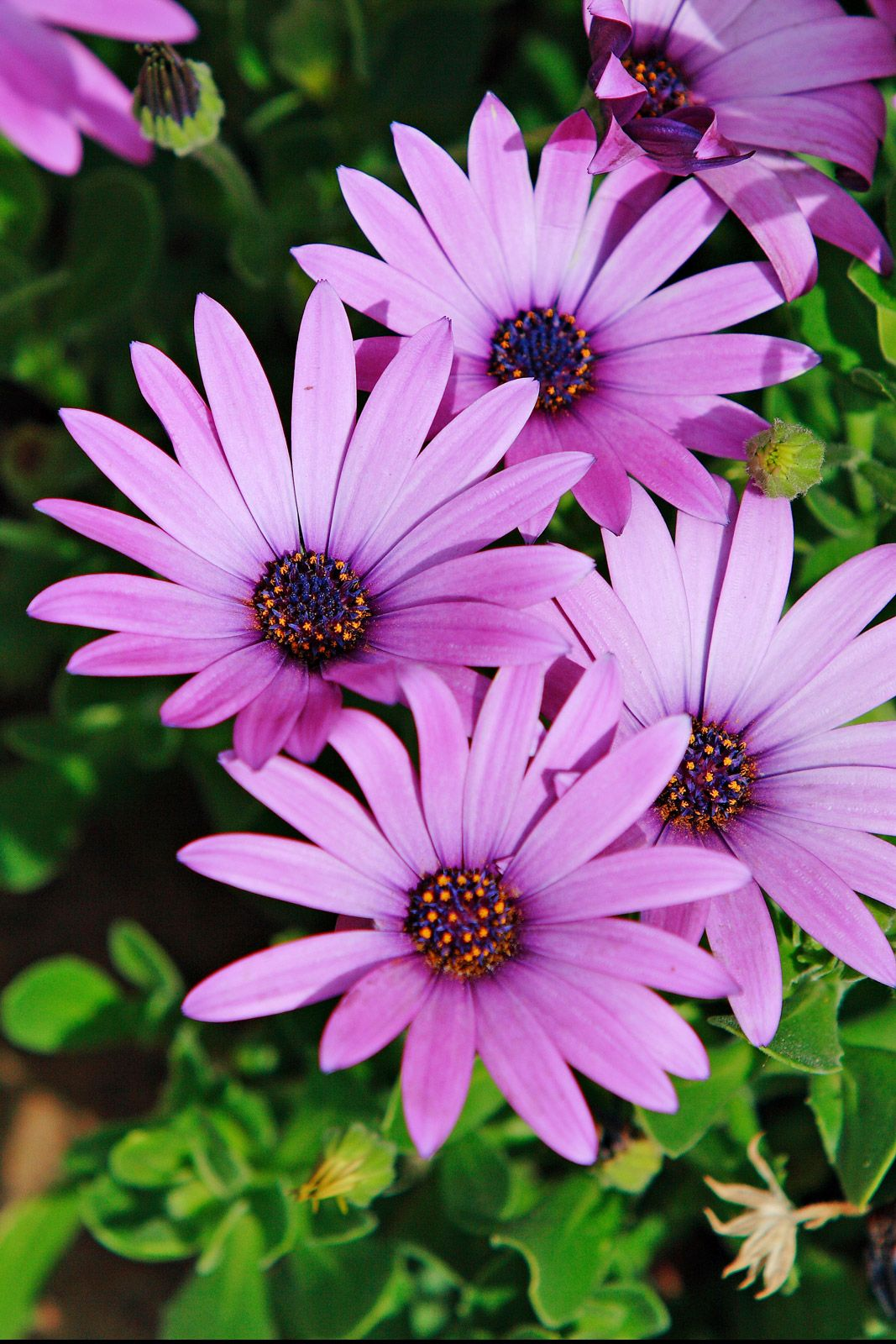 colorful daisy flowers african daisies purple in color and