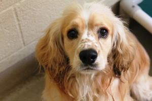 Plato Is An Adoptable Cocker Spaniel Dog In Fort Pierce Fl Plato Is A Two Year Old Buff And White Cocker Spa Cocker Spaniel Dog Dogs Welsh Springer Spaniel