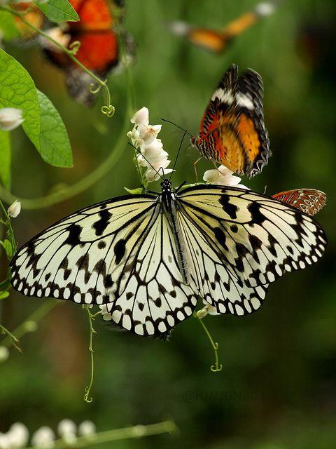 ~~Dream Wonderland ~ butterfly by kimsin801~~