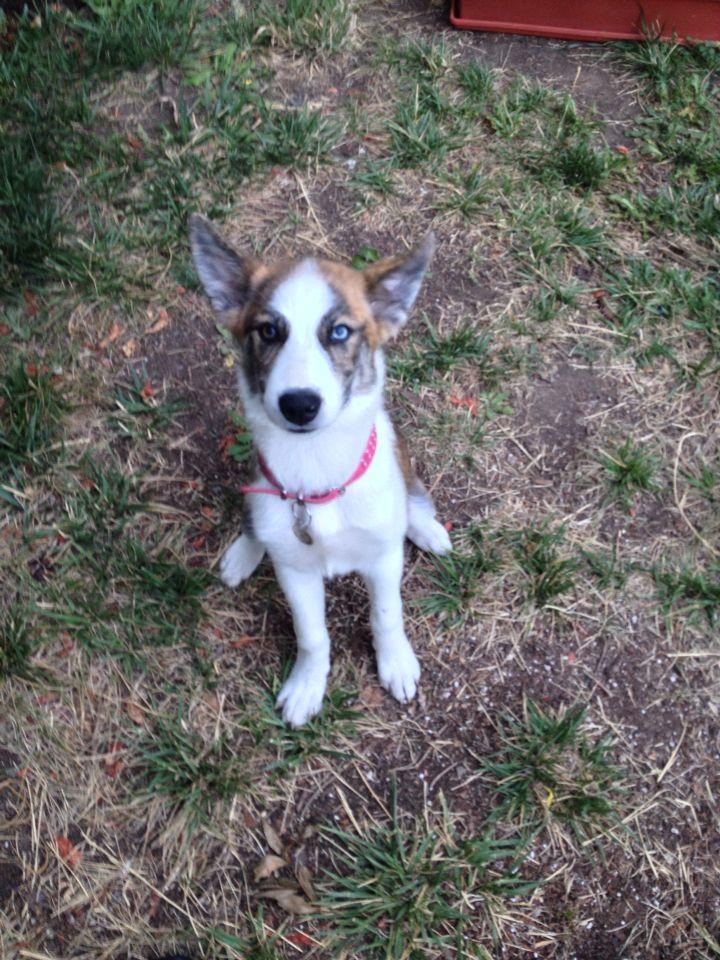 Alia Malamute Husky Queensland Heeled Puppy Dogs I Know