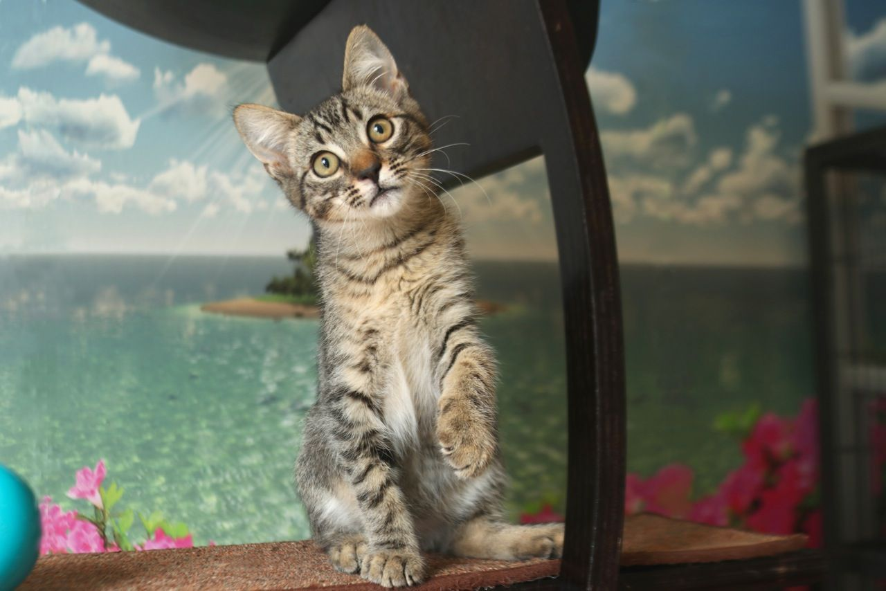 Schnitzel Kitten adoption, Cat adoption, Kittens